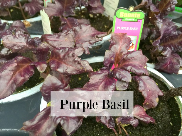 Herbs purple basil