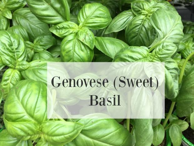herbs genovese basil