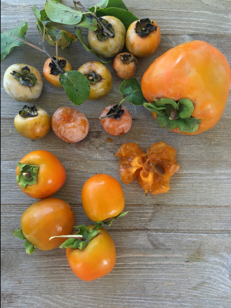 persimmons vis diningwithdebbie.net